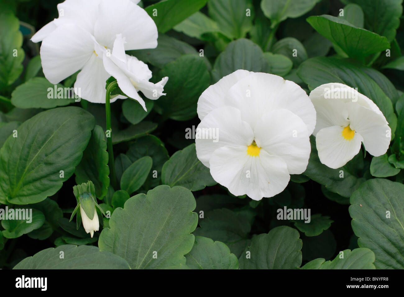 Pansy, white, Viola wittrockiana, annual - Stock Image