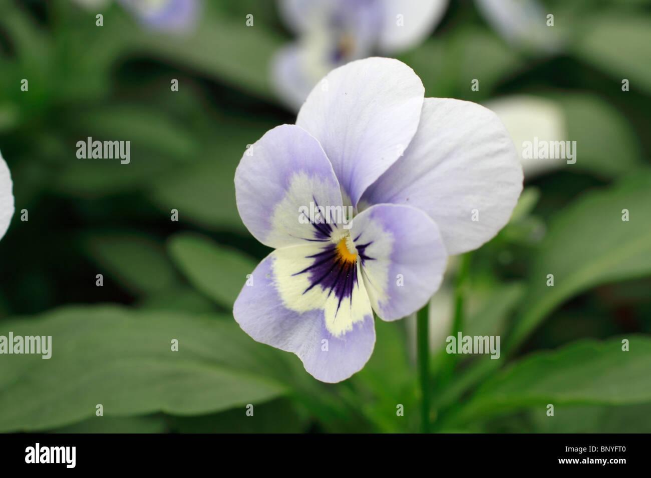 viola, rocky, Viola wittrockiana, annual - Stock Image