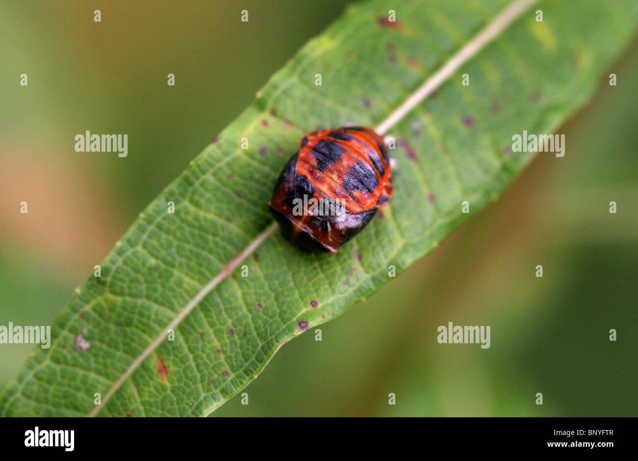 Harlequin Ladybird Pupa, Harmonia axyridis. - Stock Image