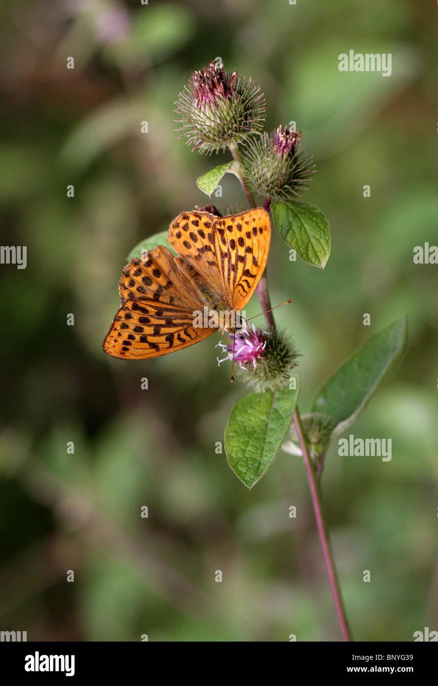 Silver-Washed Fritillary, Argynnis paphia, Nymphalidae. Feeding on Burdock Flower. Stock Photo
