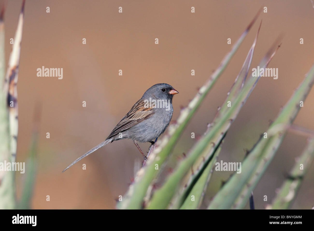 Black-chinned Sparrow - Stock Image