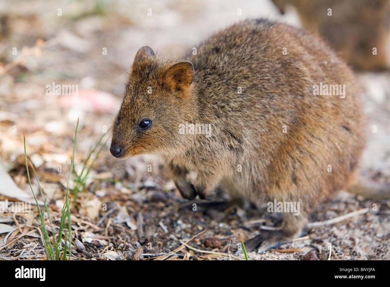 Marsupial Quokka A Quokka (Seton...