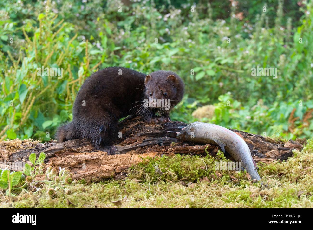 American mink(Mustela vison). - Stock Image