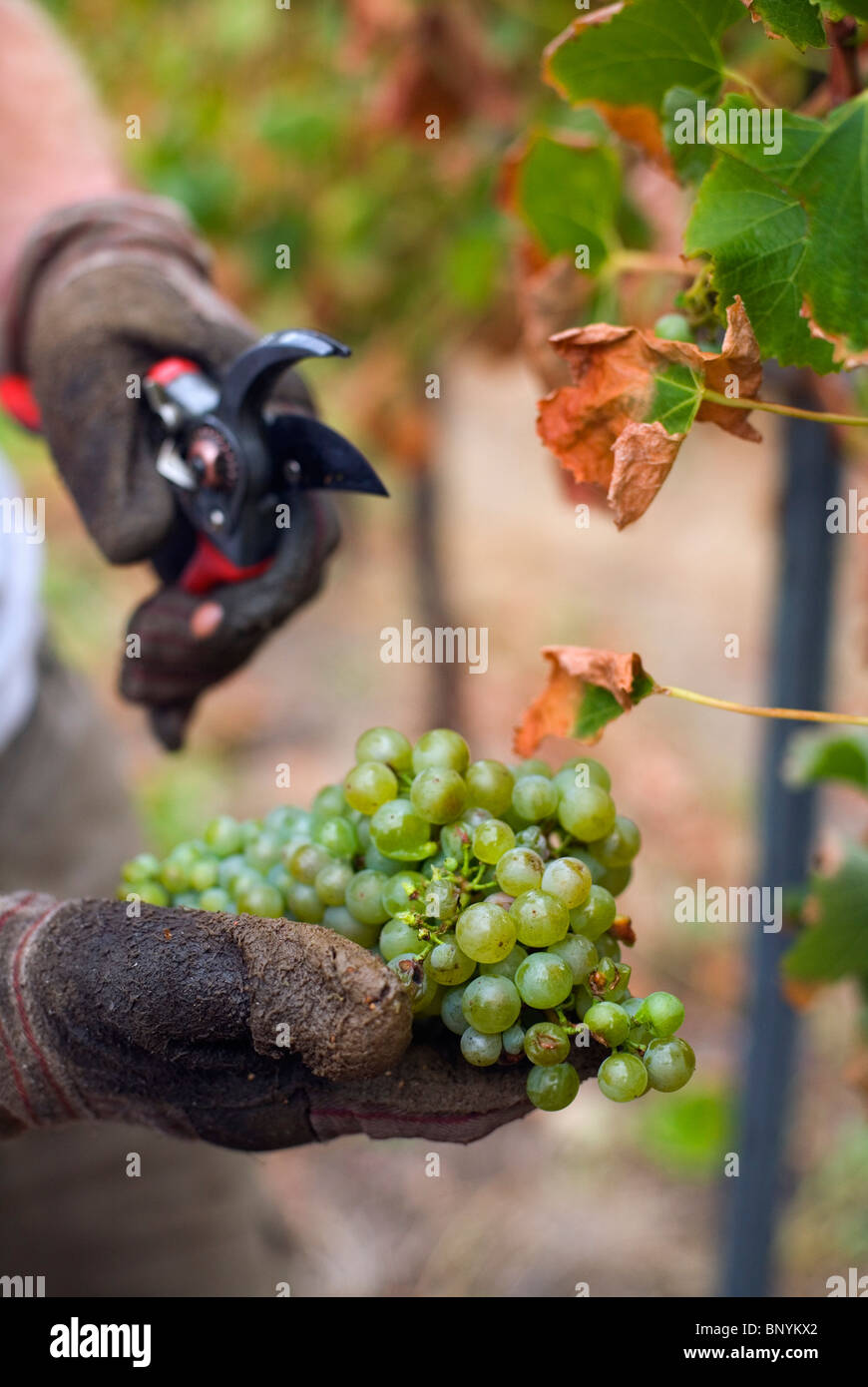 Workers harvest grapes by hand at Wilyabrup in the renowned wine region of Margaret River, Western Australia, AUSTRALIA. - Stock Image
