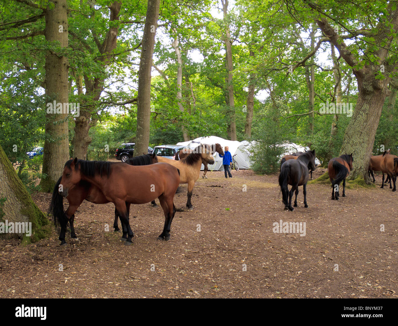 New Forest Ponies In A Campsite At Ashurst In The New Forest Hampshire