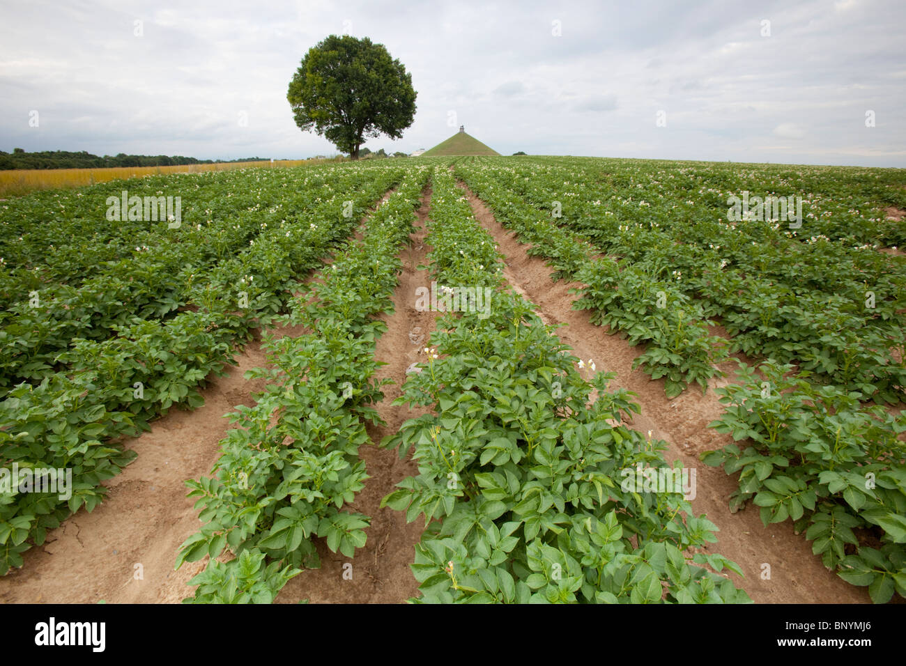 Wide angle shot of potato crops on farmland with the Lion Mound monument showing in the background, Waterloo, Belgium. - Stock Image