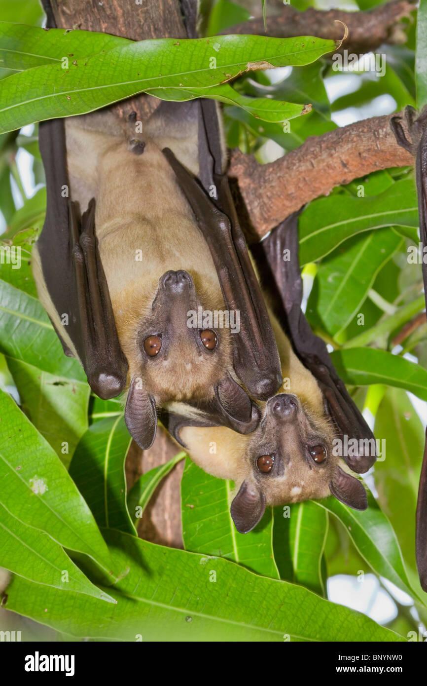 African straw-colored fruit bats (Eidolon helvum). - Stock Image