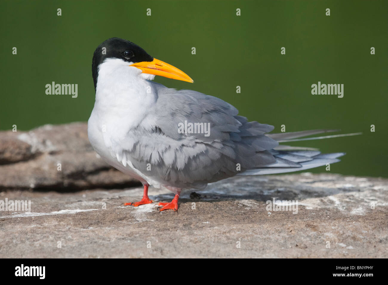 River Tern,On the rocks,shy,cute,cleaning,preening,model,birds,wildlife,nature,canon,model,posing,catchlight,on - Stock Image
