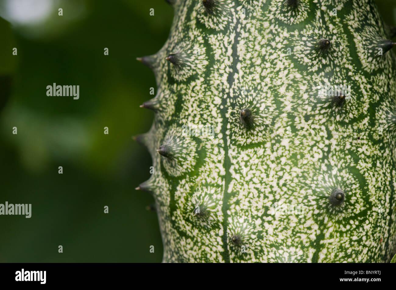 Cucumis metuliferus. Horned melon cucumber - Stock Image