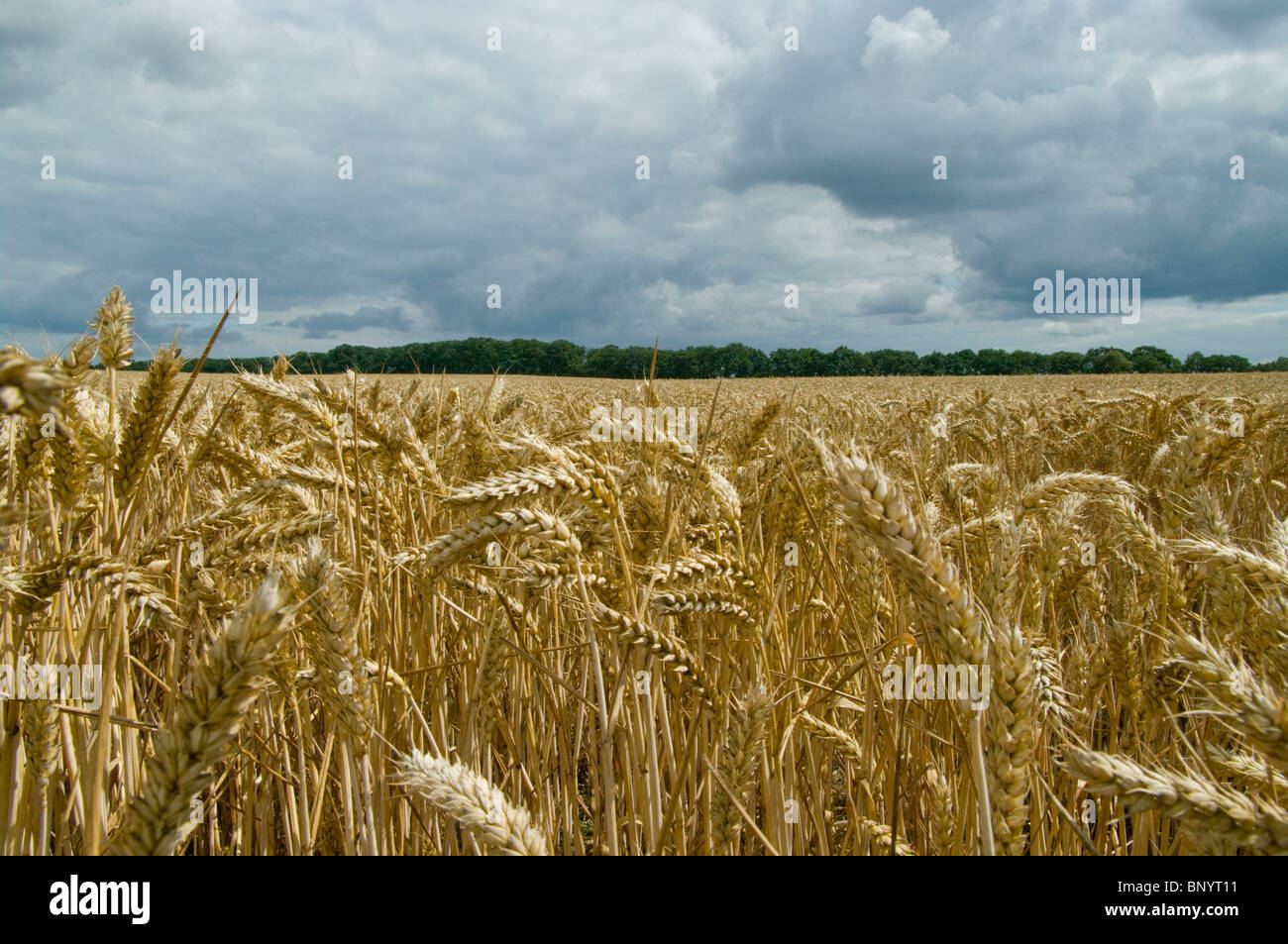 WHEAT EARS OR SPIKES - Stock Image