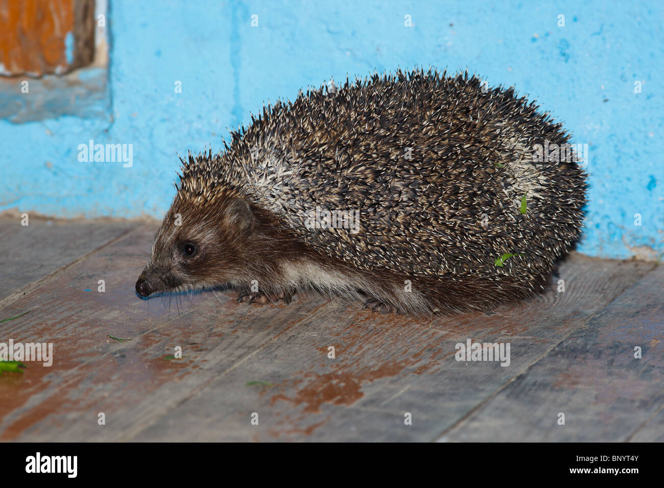 The adult hedgehog sits on threshold, side view. - Stock Image