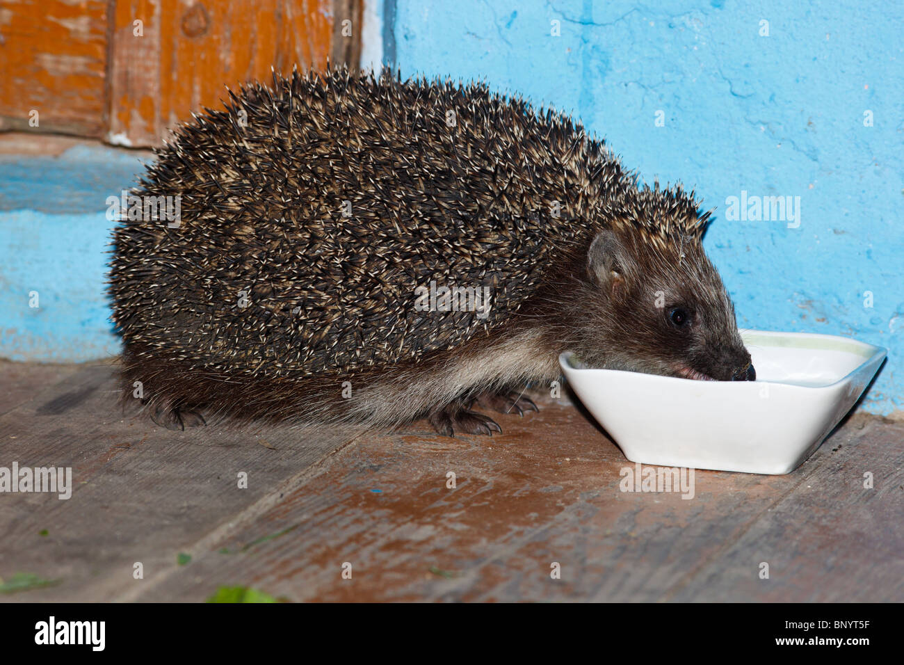 The hedgehog drinks milk from a white bowl on a house threshold. - Stock Image