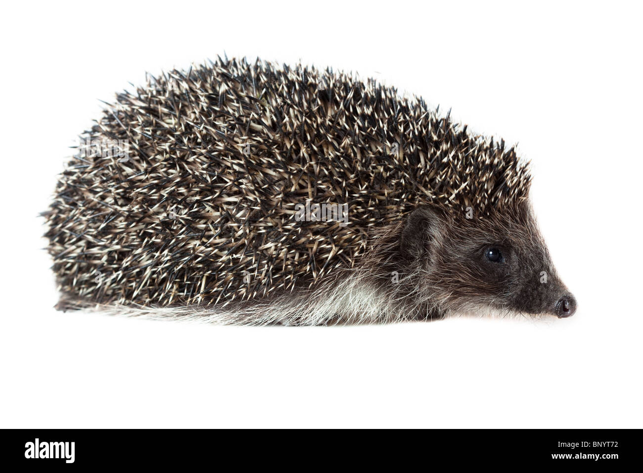 Young hedgehog in studio on the white background, isolated. - Stock Image