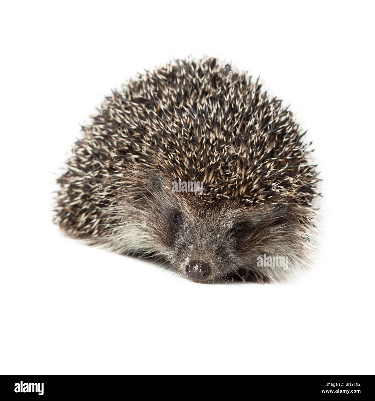Young hedgehog in studio on the white background, isolated. Stock Photo