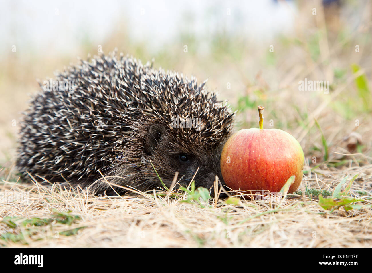 The young hedgehog has hidden at red apple. - Stock Image