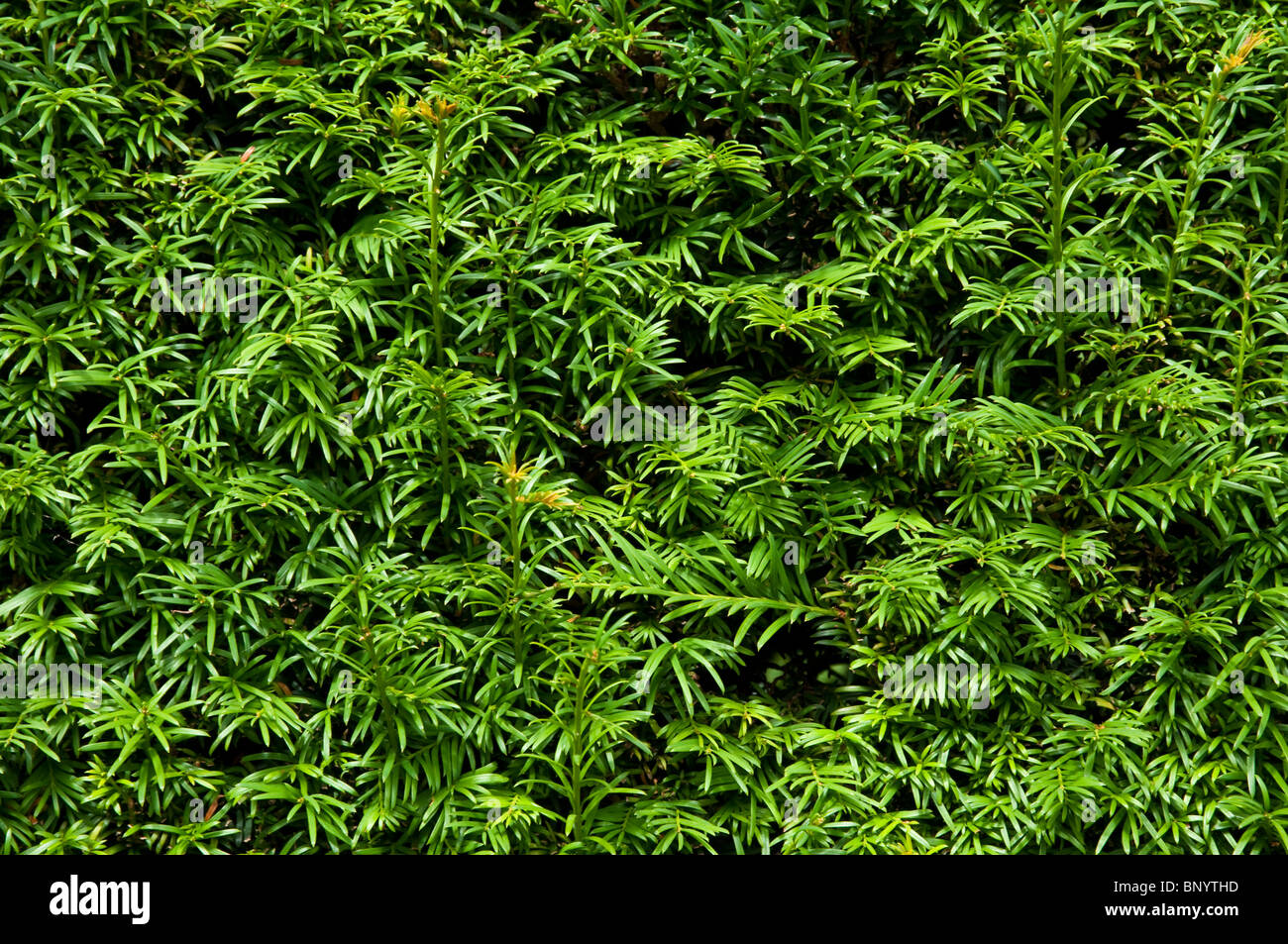 Yew Hedge - close up view - background / texture. - Stock Image