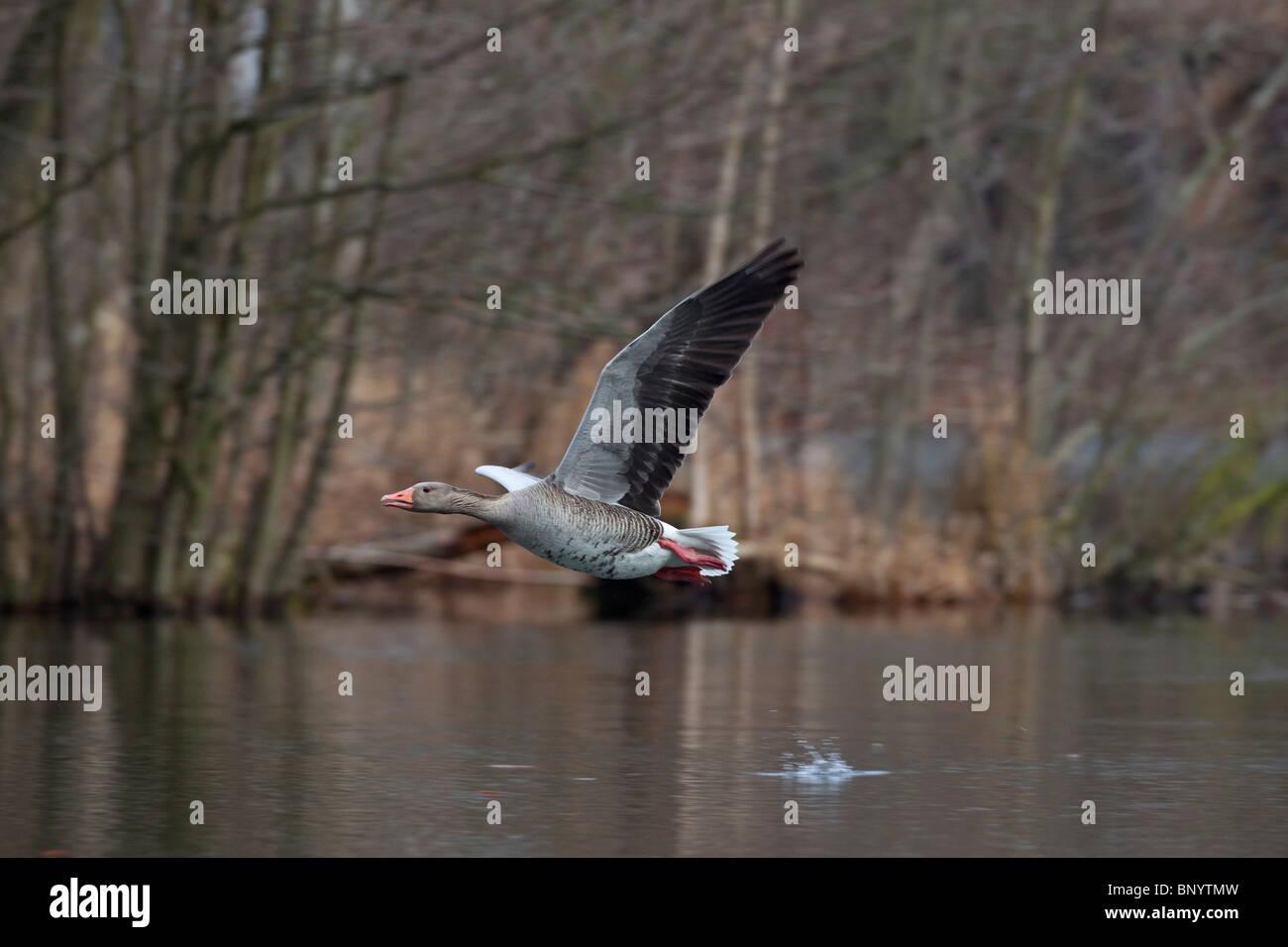 Grauwe gans (Anser anser) vliegt op vanaf meer, Duitsland Greylag Goose / Graylag Goose (Anser anser) taking off - Stock Image