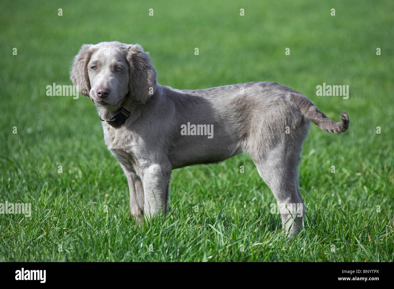 Weimaraner (Canis lupus familiaris) dog, long-haired puppy in field, Germany - Stock Image