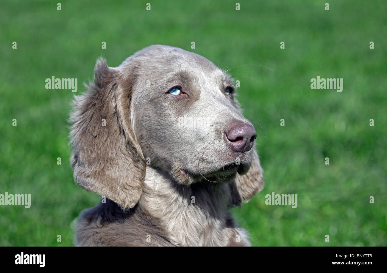 Weimaraner (Canis lupus familiaris) dog long-haired puppy in field, Germany - Stock Image