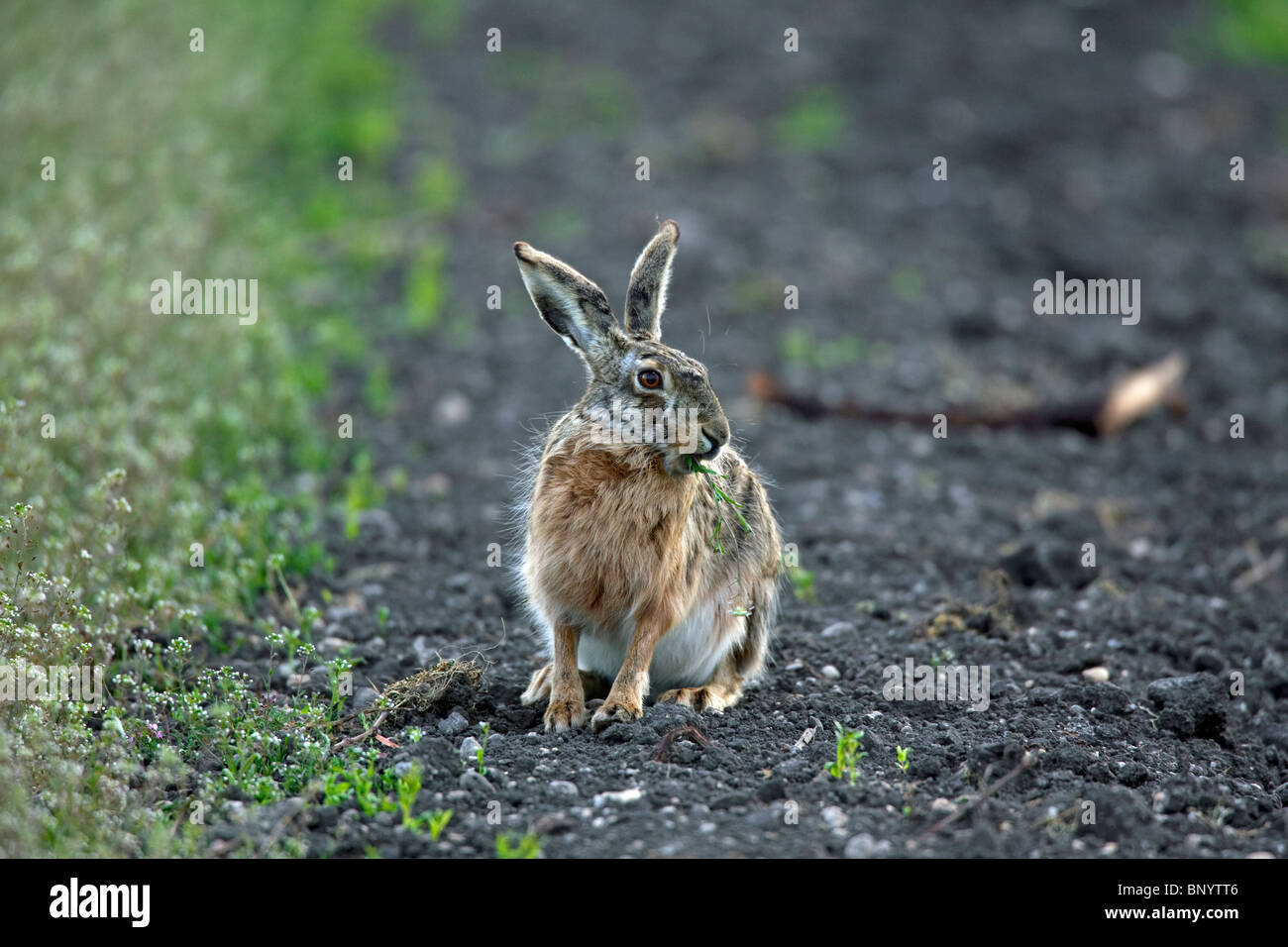 Europese haas (Lepus europaeus) etend in veld, Duitsland European Brown Hare (Lepus europaeus) eating in field, - Stock Image