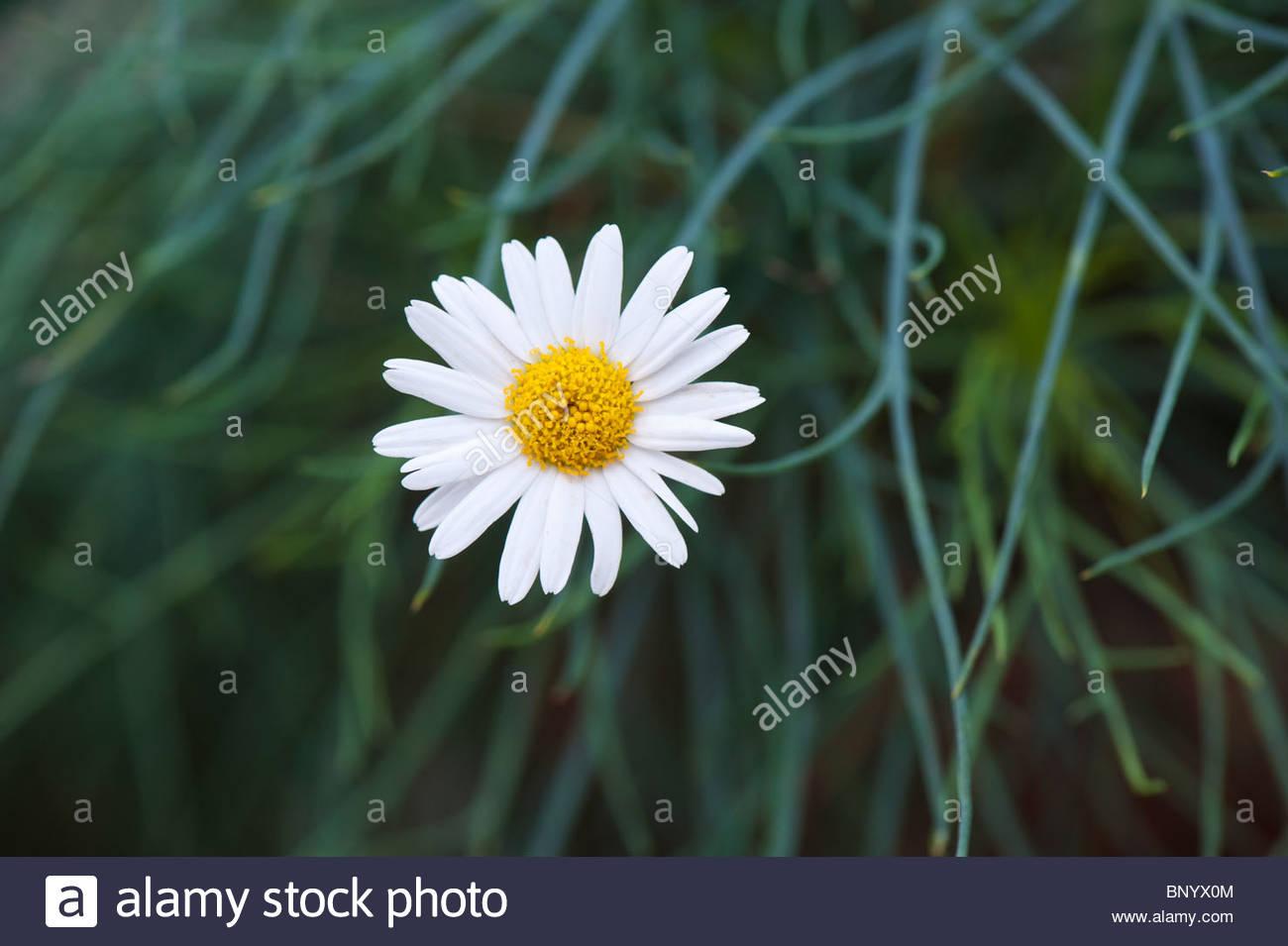 Evergreen daisies stock photos evergreen daisies stock images alamy argyranthemum gracile chelsea girl marguerite flower stock image izmirmasajfo