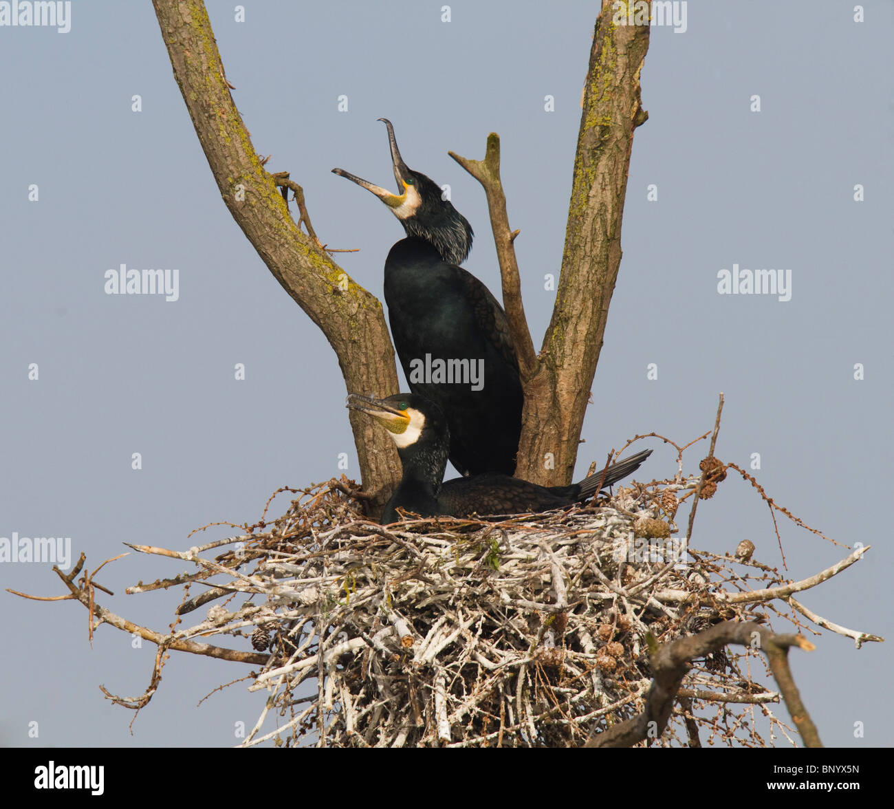 Male Great Cormorant (Phalacrocorax carbo) displaying to female on their nest in a tree - Stock Image