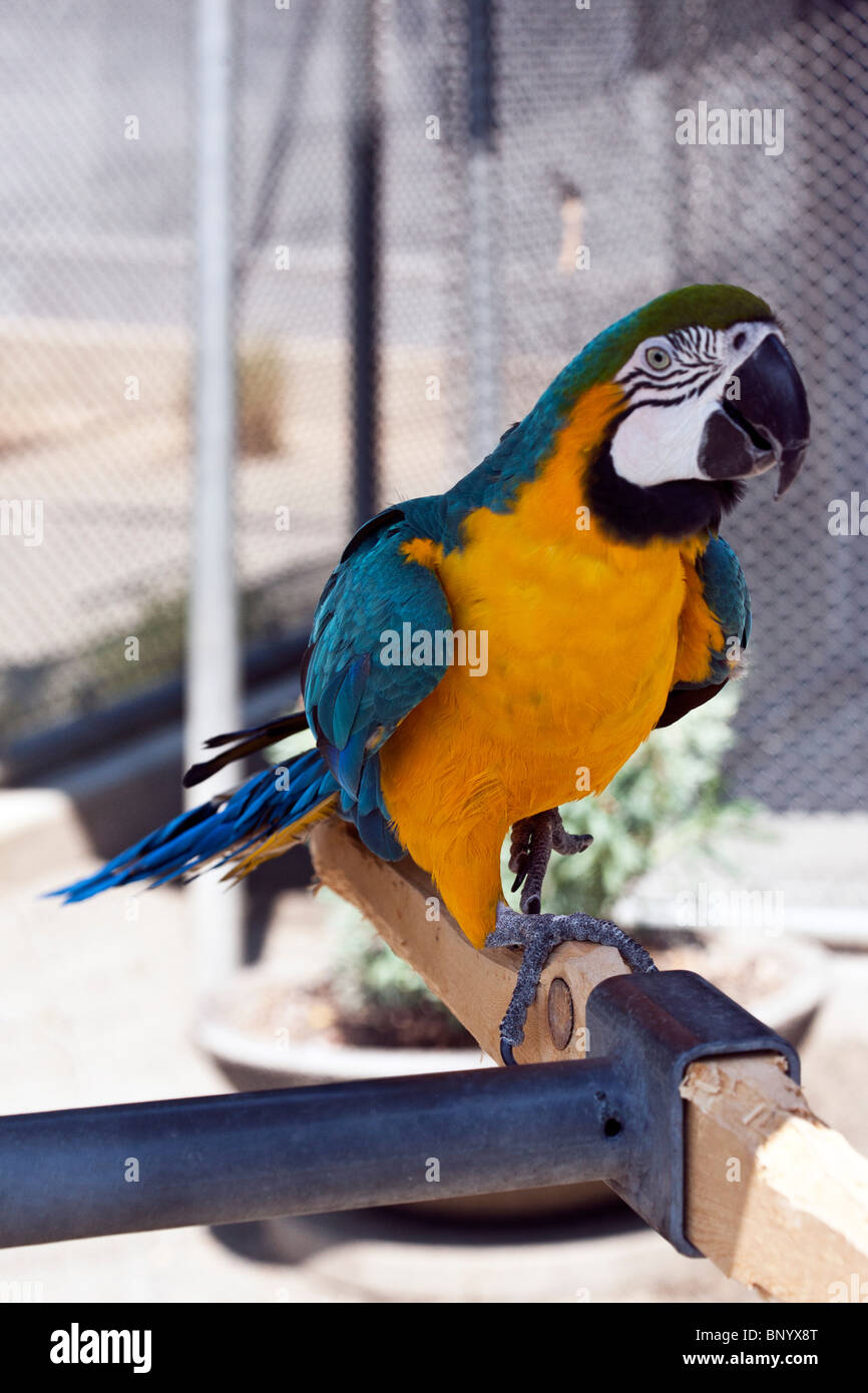 blue & gold Macaw on perch at Couger Mountain Zoological Park Issaquah Washington - Stock Image