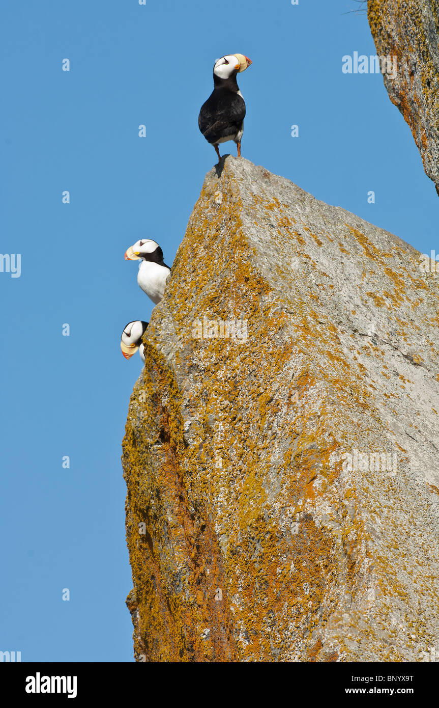 Stock photo of three horned puffins perched on a rock. Stock Photo