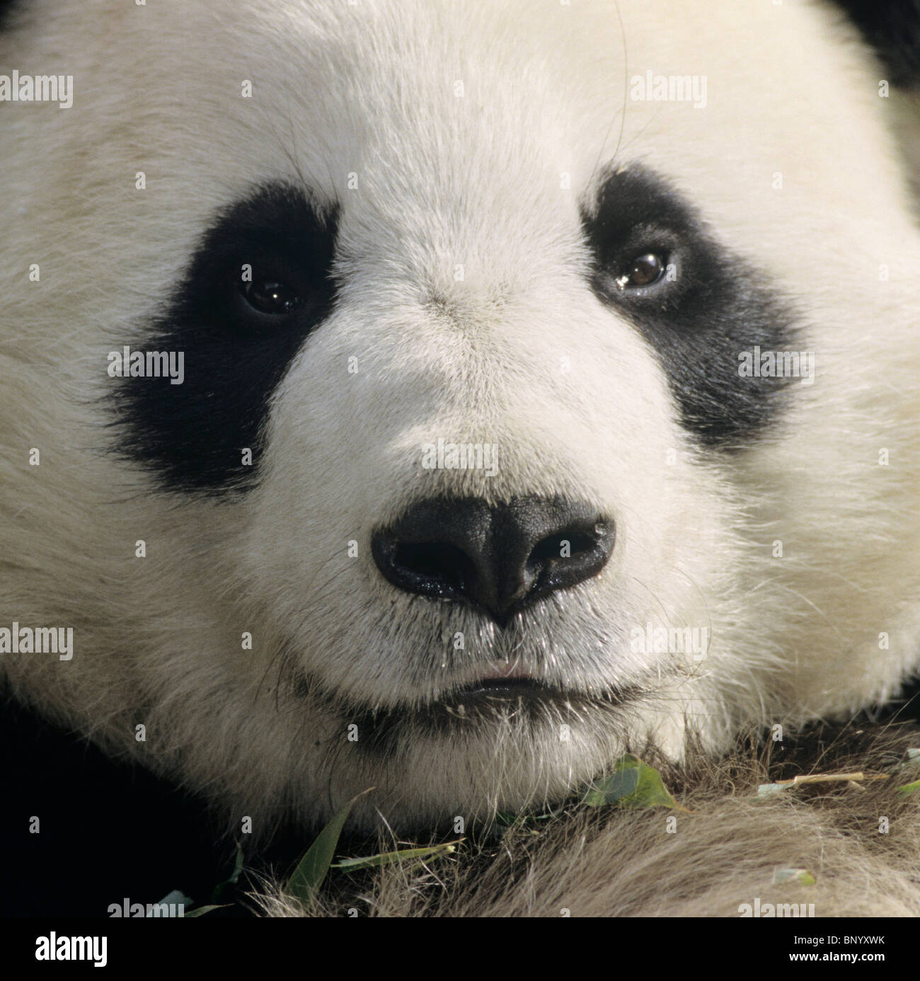 Giant panda showing clown-like face with black nose and eye patches China. - Stock Image