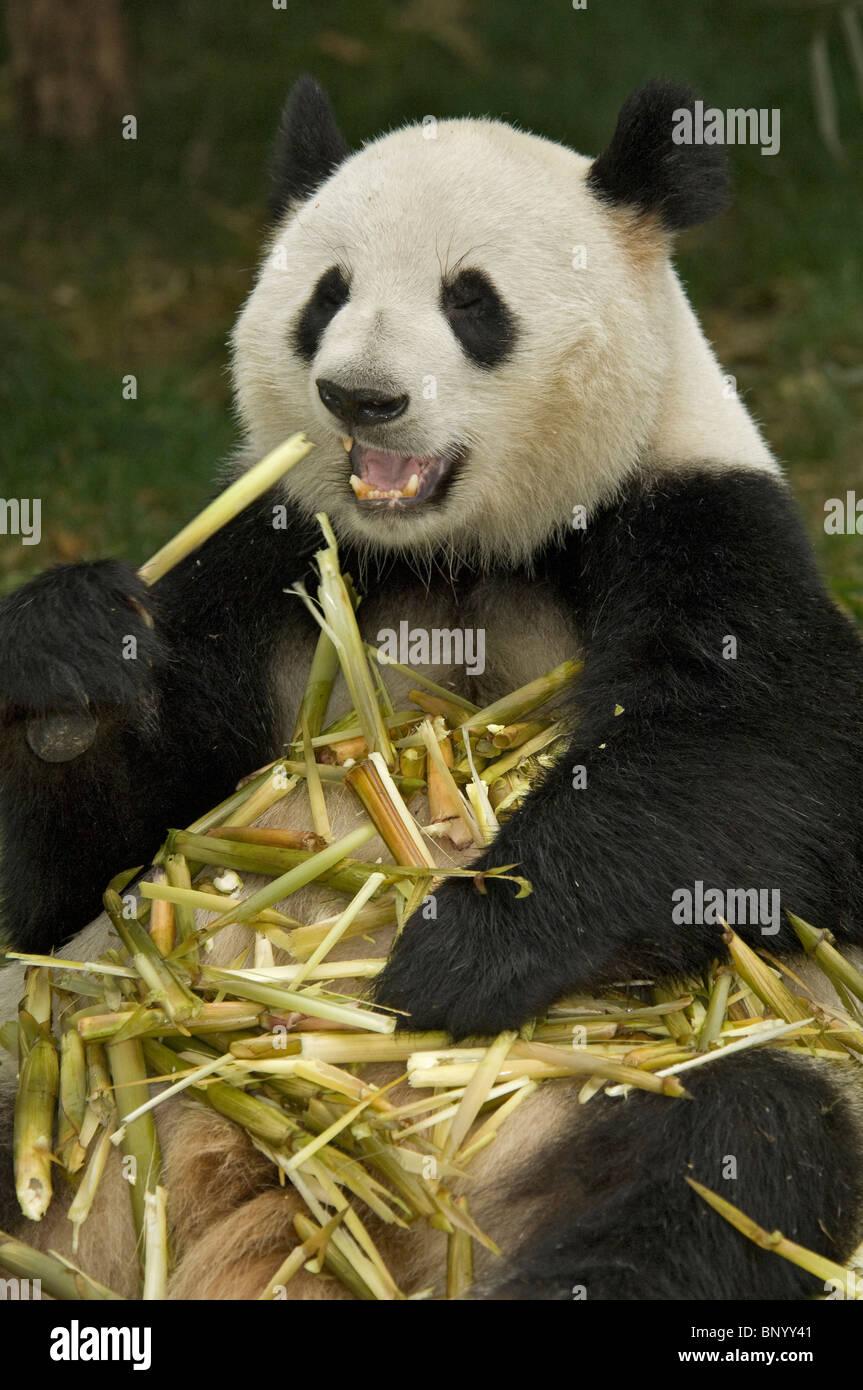 Giant panda sitting feeding on bamboo Sichuan China - Stock Image