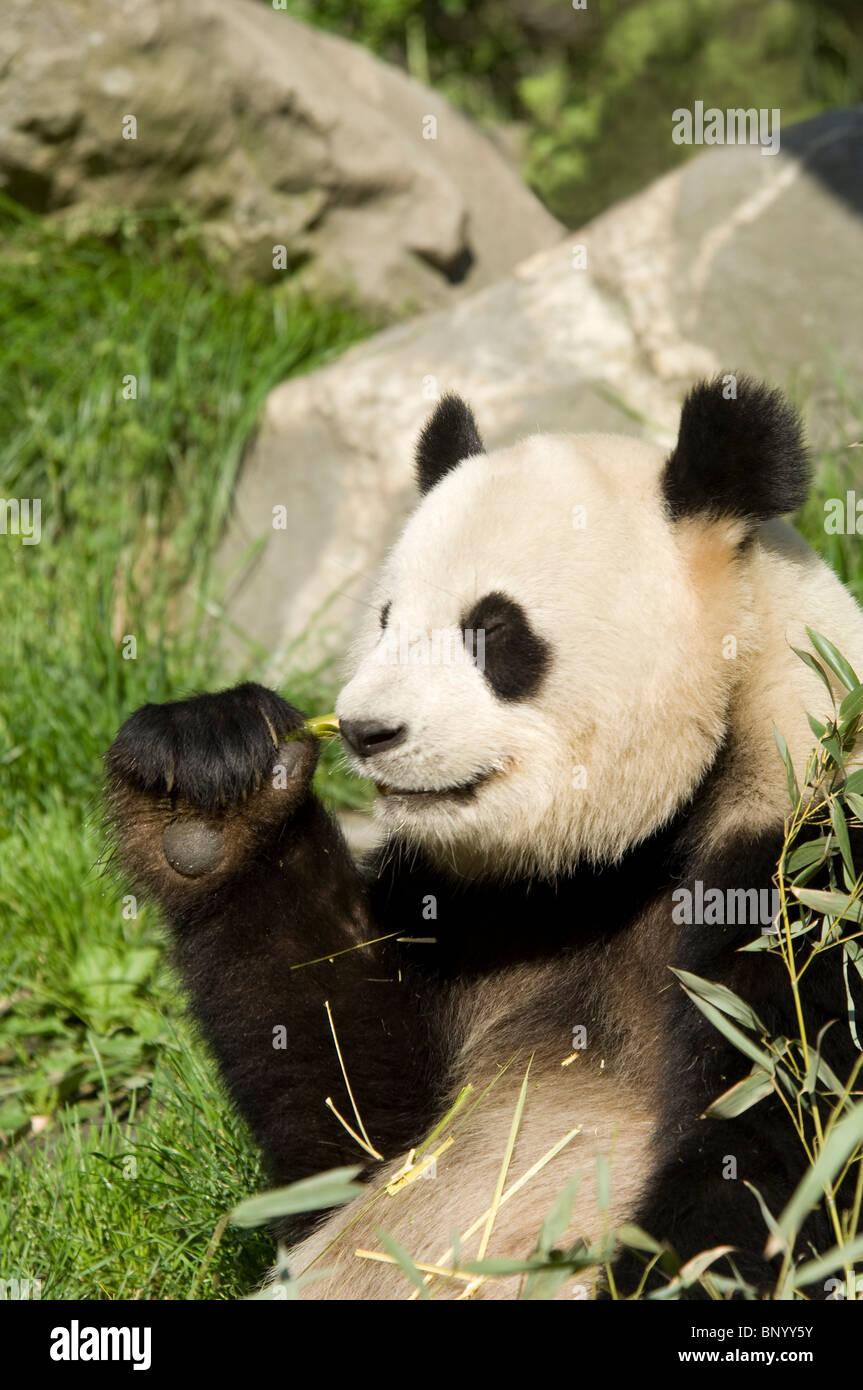 Giant panda sitting feeding, Wolong, Sichuan, China - Stock Image