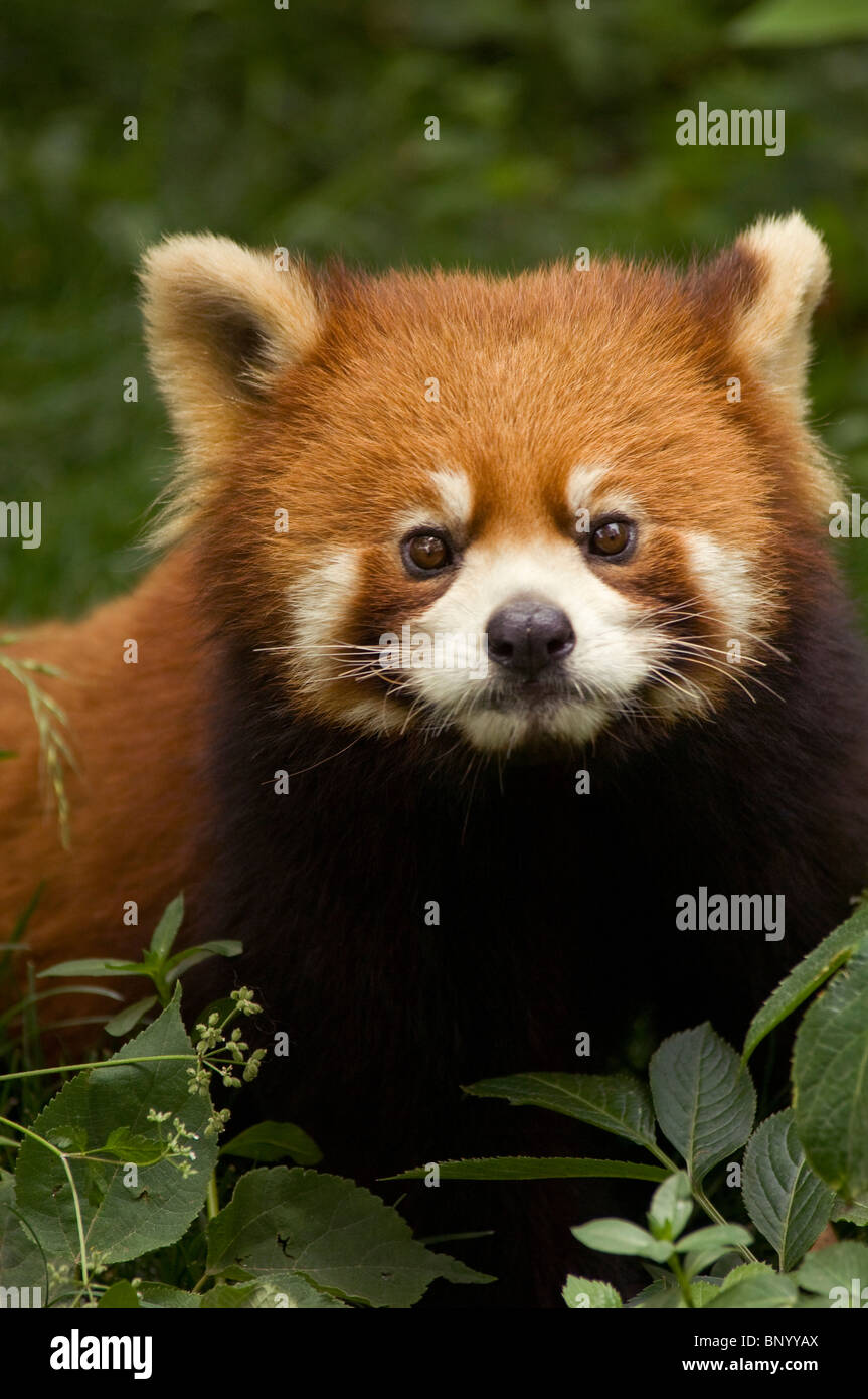 Red or lesser panda  Wolong, Sichuan Province, China - Stock Image