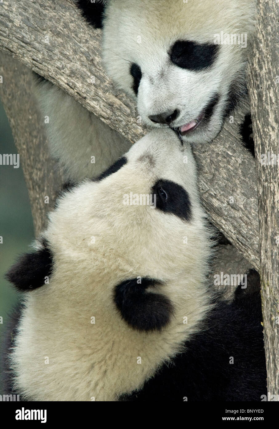 Friendly giant panda, Ailuropoda melanoleuca, cubs at Wolong - Stock Image
