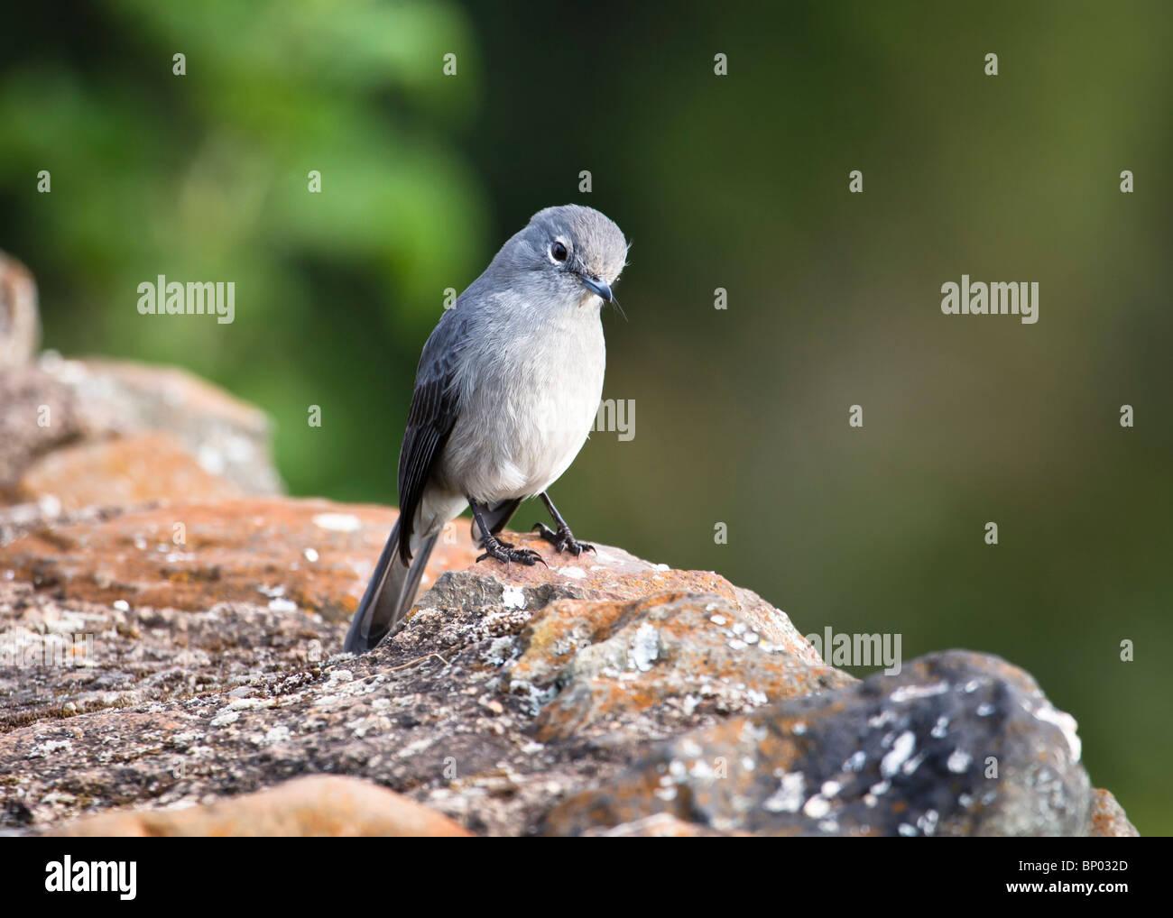 White-Eyed Slaty Flycatcher (Melaenornis fischeri), Ngorongoro, Tanzania, July 2007 - Stock Image