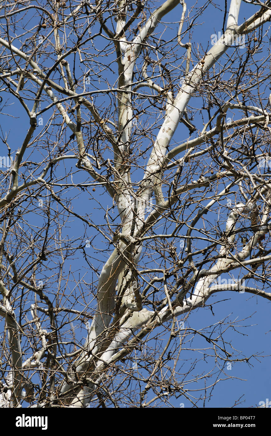 Some branches of a Sycamore Tree against blue sky. - Stock Image
