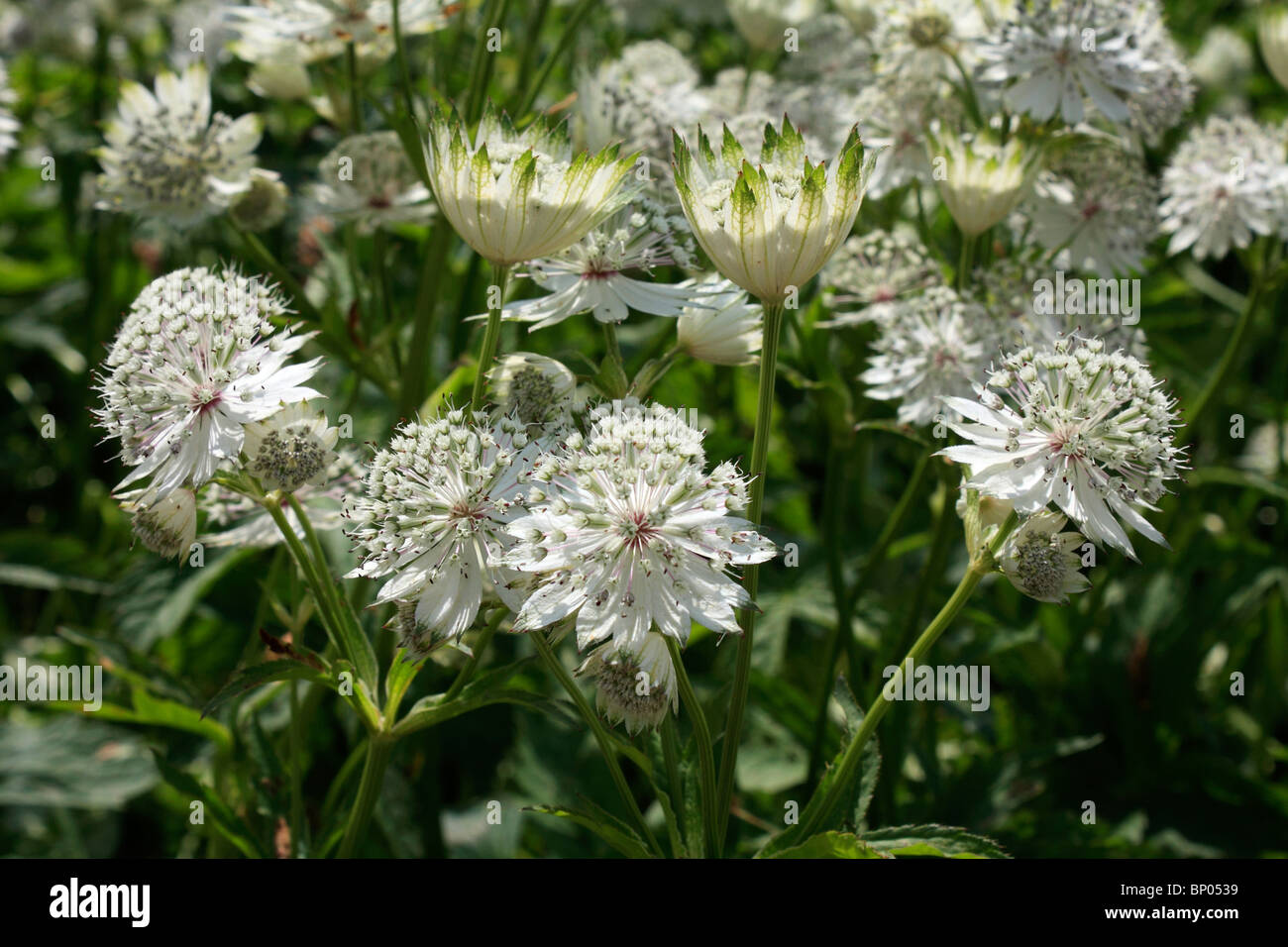 White astrantia flowers stock photos white astrantia flowers stock white flowers of astrantia major surrey england uk stock image mightylinksfo
