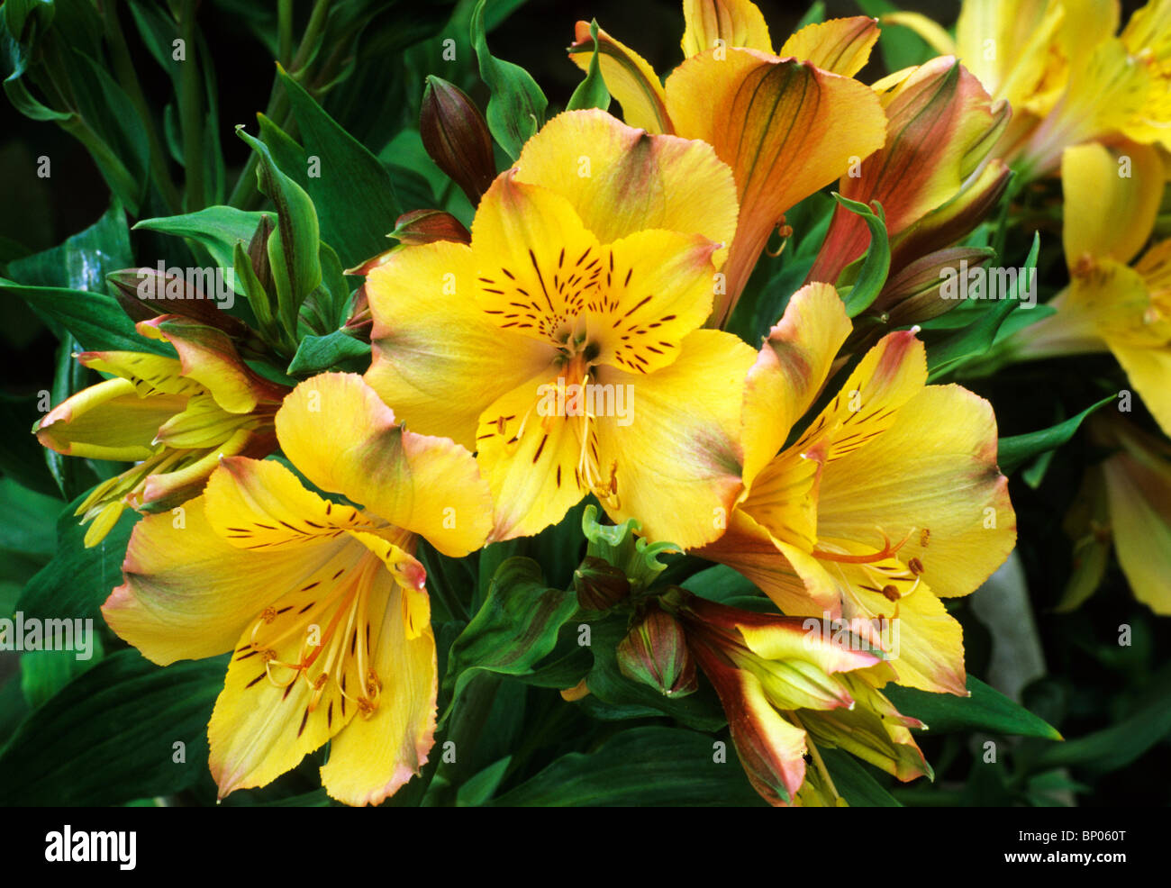 Alstroemeria Princess Lily Stock Photos Alstroemeria Princess Lily