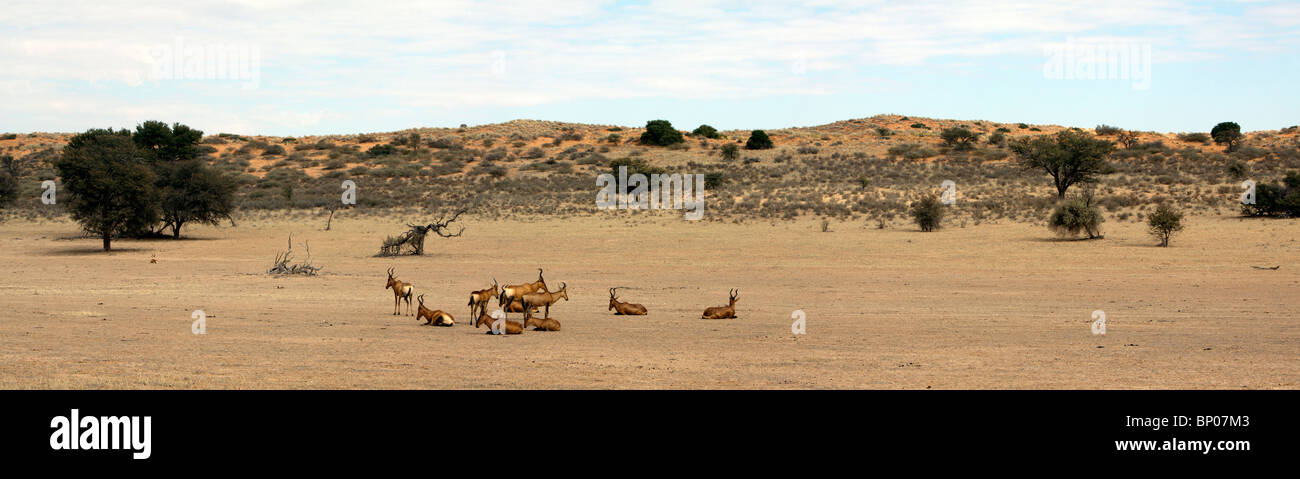 Panorama of a red dune and red hartebeest in the Kgalagadi Transfrontier National Park in South Africa and Botswana - Stock Image