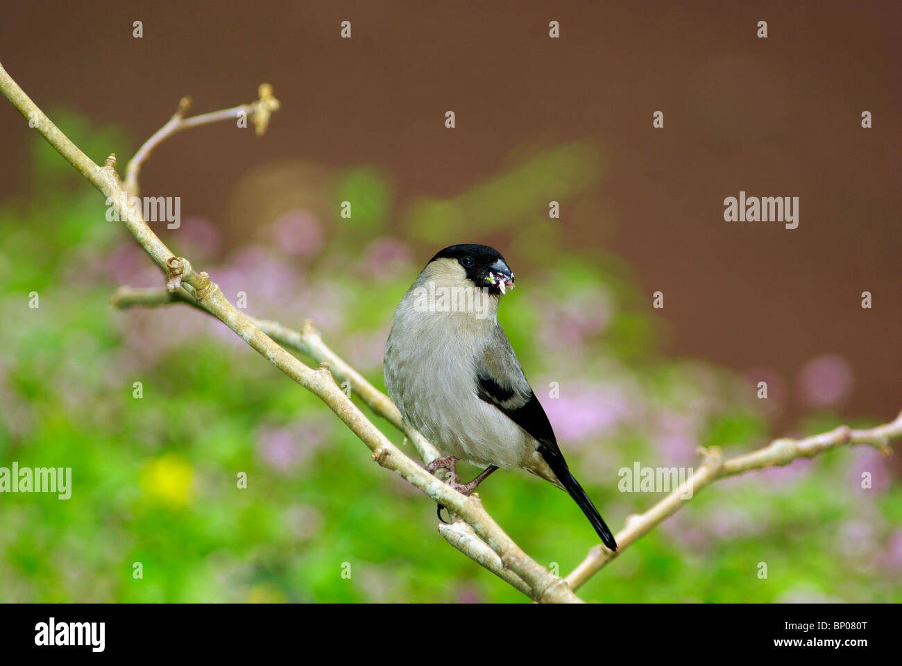 Azores Bullfinch bird eating on tree branch - Stock Image