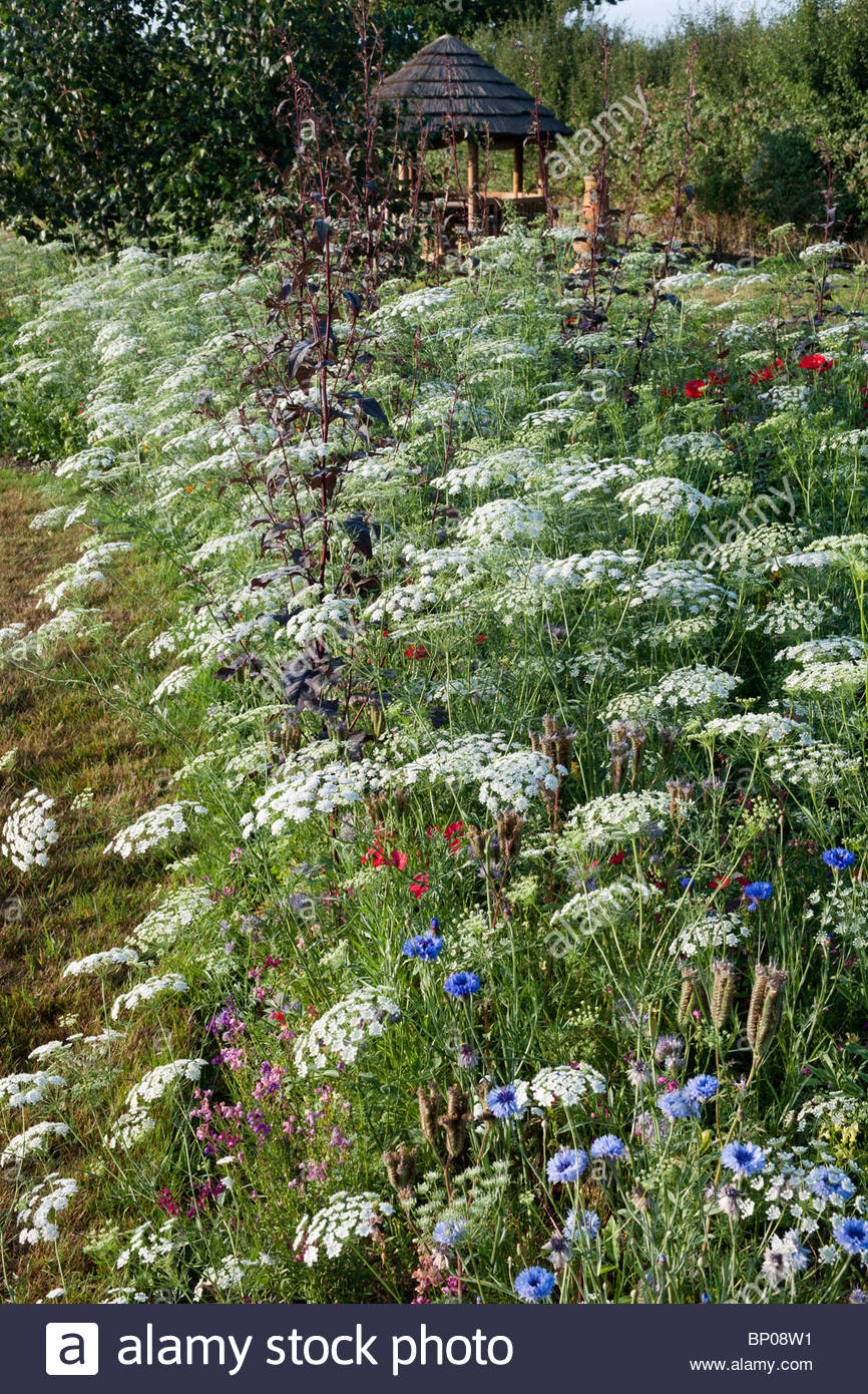 Pictorial meadow pastel mix bishops flower Ammi majus summer flowering hardy annual white medicinal herbal july - Stock Image