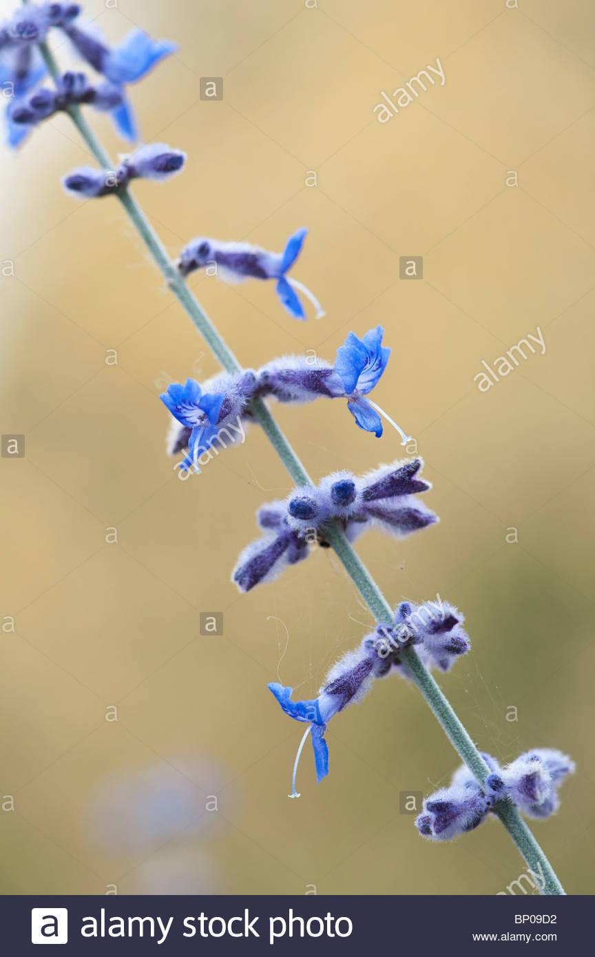 Perovskia 'Blue Spire'. Russian sage - Stock Image