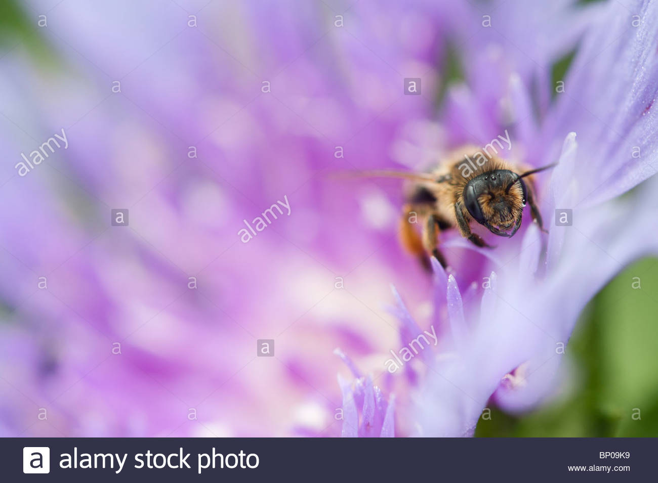 Honeybee on a flower close up - Stock Image