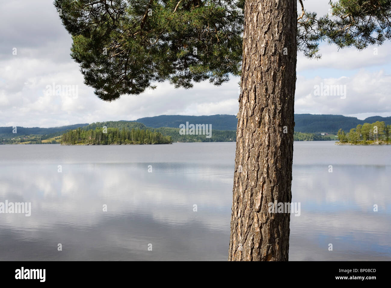 Pine tree by lake - Stock Image