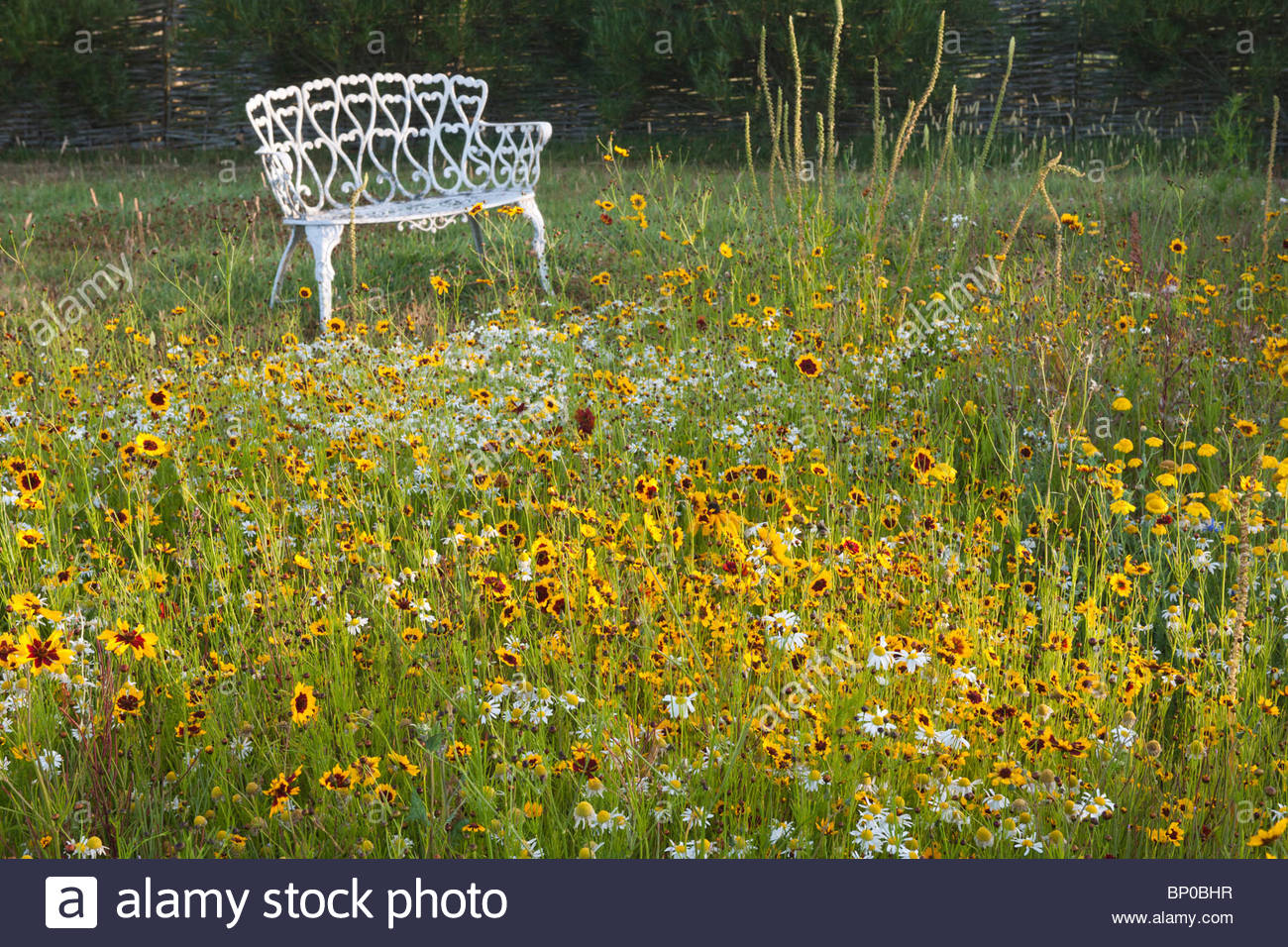 Pictorial meadow annual mix warm colour yellow marmalde mixture Californian poppy Escscholzia black eye eyed Susan - Stock Image