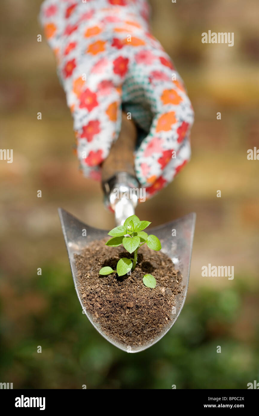 Hand holding plant on garden trowel - Stock Image
