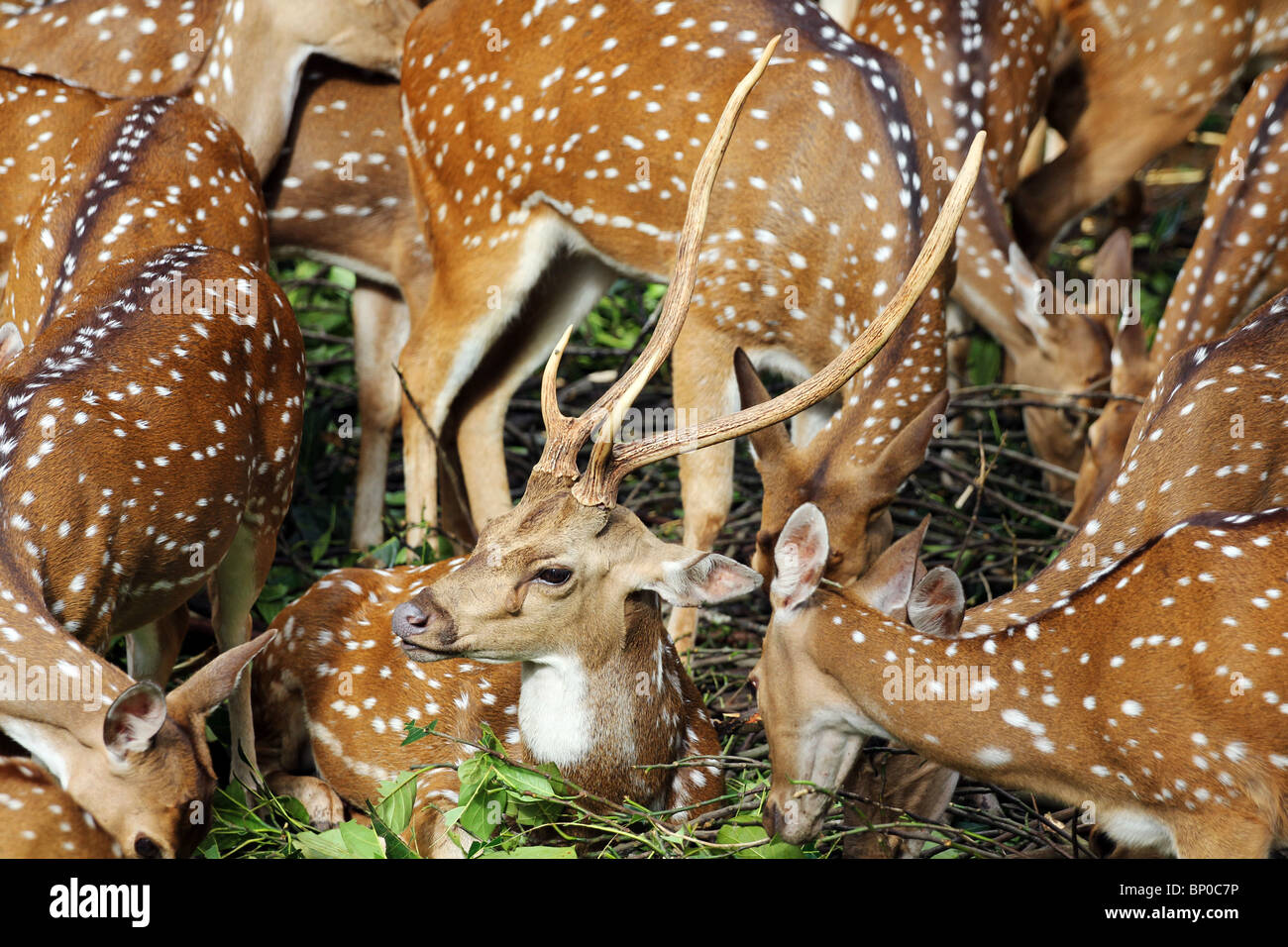 The chital or cheetal (Axis axis)  also known as chital deer - Stock Image