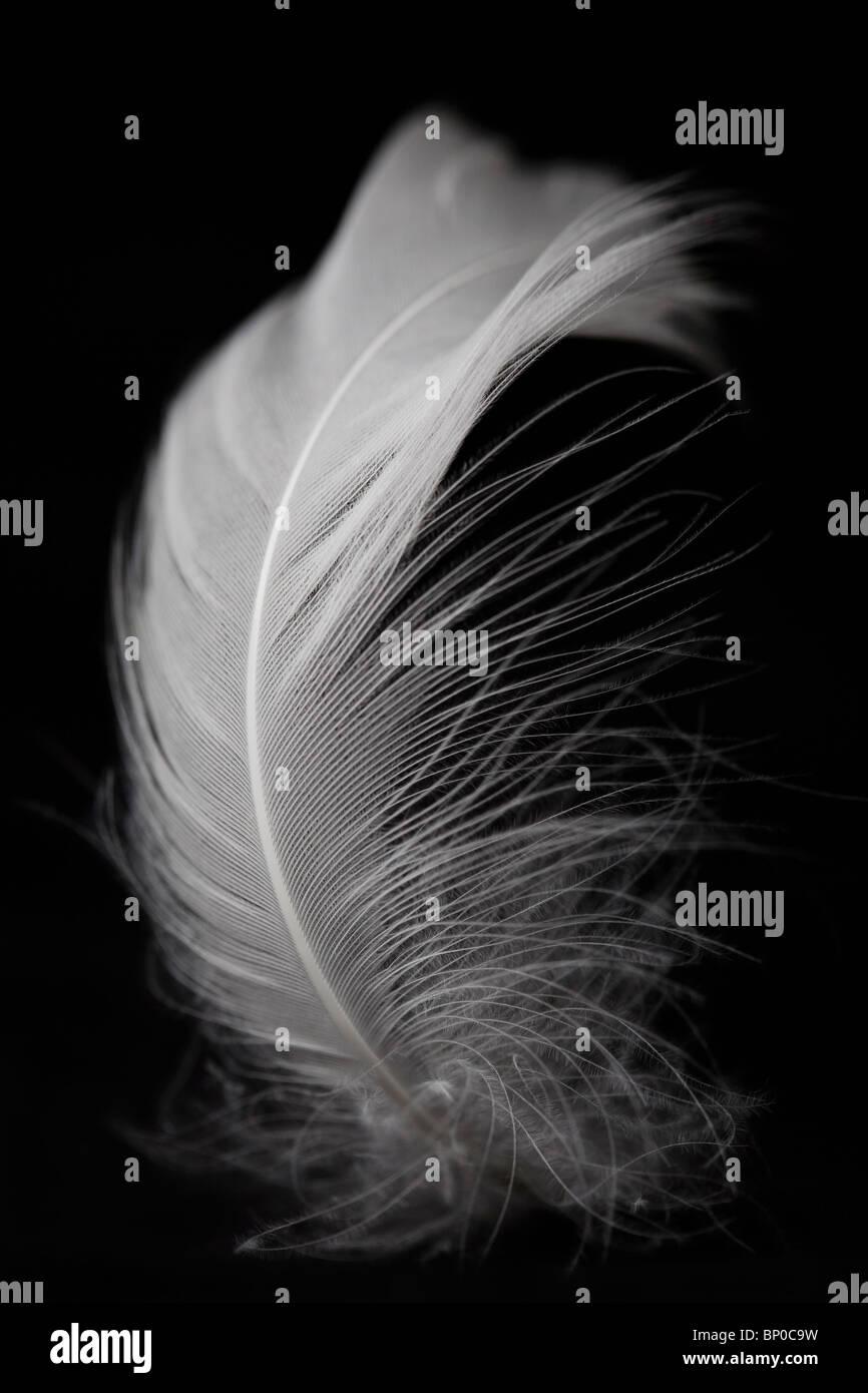 White feather on black background - Stock Image