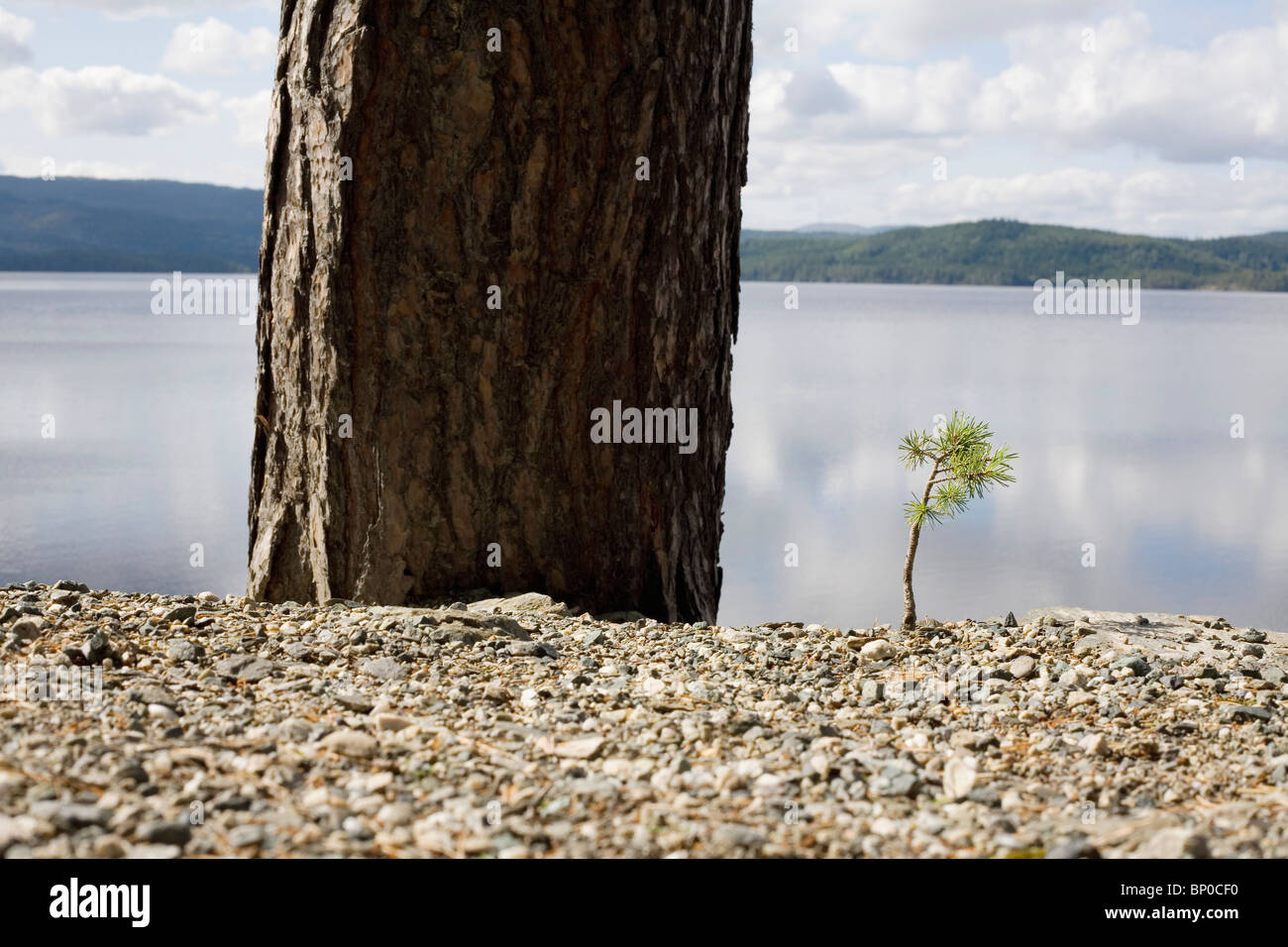 Small pine tree next to big tree by lake - Stock Image