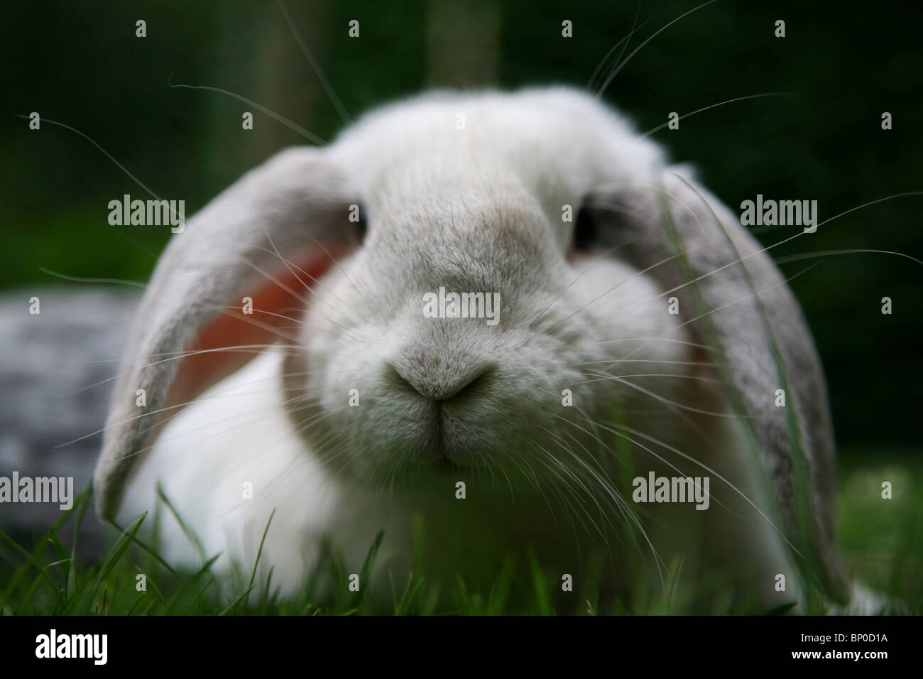 A white French Lop rabbit - Stock Image
