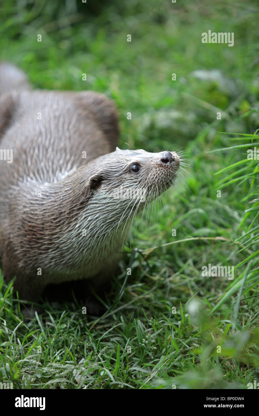England, Cornwall, Tamar Otter & Wildlife Centre. European otter in a captive breeding project. Stock Photo